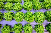 picture of hydroponics  - hydroponic farm in north of Thailand - JPG