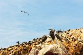 picture of booby  - Peru Sxouth Coast Islas Ballestas near Paracas National Park although grandiosely nickname the  - JPG