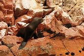 Peru, Wildlife On Islas Ballestas Near Paracas