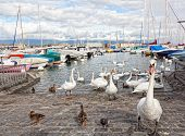 Pack of swans on Leman Lake in Geneva Switzerland