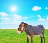 pic of headstrong  - a brown donkey on a green grass - JPG