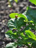 stock photo of potato bug  - Colorado beetle on the leaf of potato bush - JPG