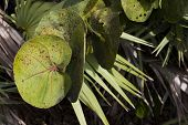 Sea Grape and Palm Fronds