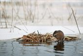 pic of muskrat  - The muskrat  - JPG