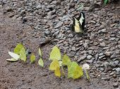 Group Of Pieridae Butterflies