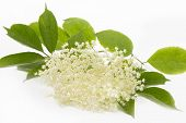 Single elderflower isolated on white background, closeup