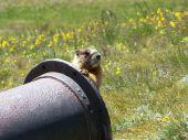 curious groundhog