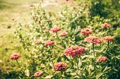 pic of zinnias  - Zinnia flower or Zinnia violacea in the garden nature and park vintage - JPG