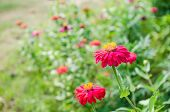 picture of zinnias  - Zinnia flower or Zinnia violacea in the garden nature and park - JPG