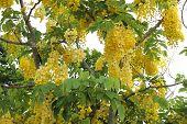 Golden shower tree in Thailand