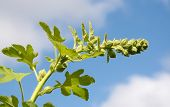 Hollyhock Flower Stem Against The Sky