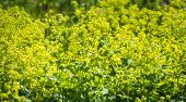 image of molly  - Bright yellow budding and blooming Lady - JPG