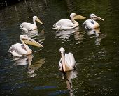 Group Of Great White Pelican