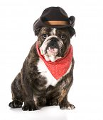 country dog - english bulldog wearing red bandanna and cowboy hat on white background