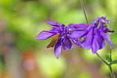 Skipper butterfly on purple flowers