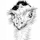 Closeup Portrait Of Funny Ostrich Bird
