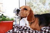 Beagle dog on window background