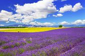 violet fields of blooming lavande in Provence, France