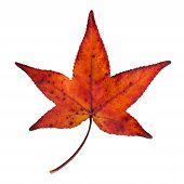 maple leaf isolated