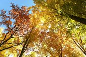 pic of alder-tree  - Autumn beech trees on a cloudless morning - JPG
