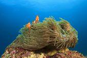 Nemo Fish (Clown Anemonefish in sea anemone)