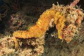stock photo of seahorse  - Seahorse - JPG