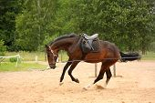 picture of breed horse  - Brown playful latvian breed horse galloping on the line