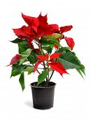 a red poinsettia in a black flowerpot on a white background