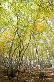 autumnal beech trees in the valley of Ordesa, Pyrenees, Huesca, Aragon, Spain