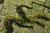 stock photo of epiphyte  - Twisted Oak Branch with epiphytic mosses and ferns