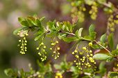 stock photo of barberry  - A branch of European barberry  - JPG