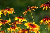 Rudbeckia Hirta L. - Black-eyed Susan