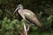 Hadada ibis (Bostrychia hagedash).