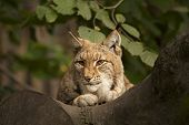 Lynx In The Tree.