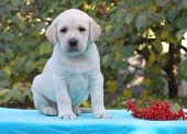Yellow Labrador Puppy Sitting On Blue Background With Guelder-rose
