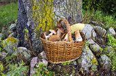 Mushrooms Fungi In Old Wicker Basket