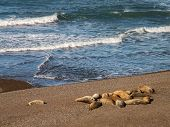 Group Of Sea Lions On Beach
