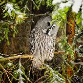 Big Grey Owl At Tree In Winter3