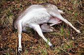Fallow Deer Female Killed In Hunt