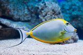 pic of clown fish  - Naso lituratus  - JPG