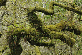 pic of epiphyte  - Twisted Oak Branch with epiphytic mosses and ferns