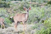picture of greater  - Greater kudu bull in the Karoo National Park - JPG