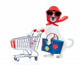 pic of diva  - crazy and silly jack russell dog diva lady with bag pushing empty supermarket cart isolated on white background - JPG
