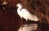 Snowy Egret looking for a fish poster