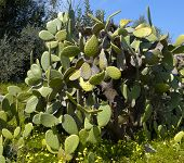 stock photo of prickly-pear  - prickly pears in the spring campaign of apulia - JPG