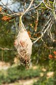 picture of maggot  - Large processionary maggot nest on a pine tree - JPG