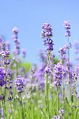 stock photo of lavender field  - Lavender herb blooming in a garden with blue sky - JPG