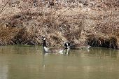 stock photo of wetland  - Wild Geese in the wetlands are here to make a nest - JPG
