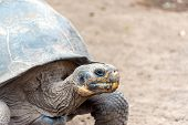image of tortoise  - Giant tortoise on Isabela Island in the Galapagos Islands in Ecuador - JPG