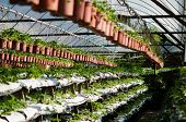 pic of strawberry plant  - Photo of Potted plants on a strawberry farm - JPG